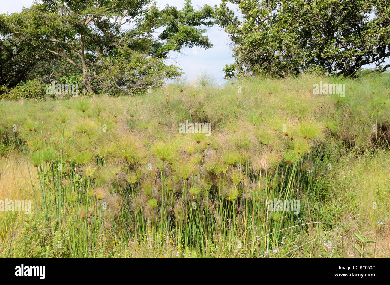 Papyrus Sedge or Paper Reed Cyperus papyrus Mlilwane Wildlife Sanctuary Swaziland South Africa Stock Photo