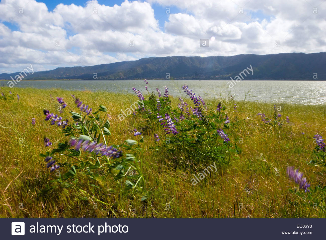 Lupine Blowing in the Wind Lake Elsinore California - Stock Image