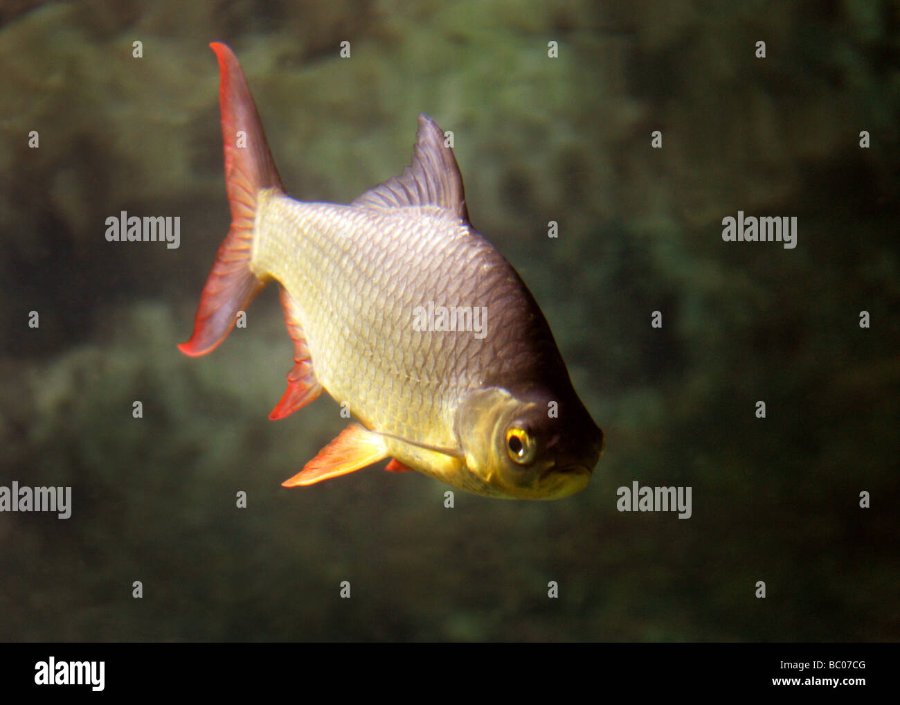 Golden Rudd, Scardinius erythrophthalmus, Cyprinidae. A Freshwater Fish Stock Photo