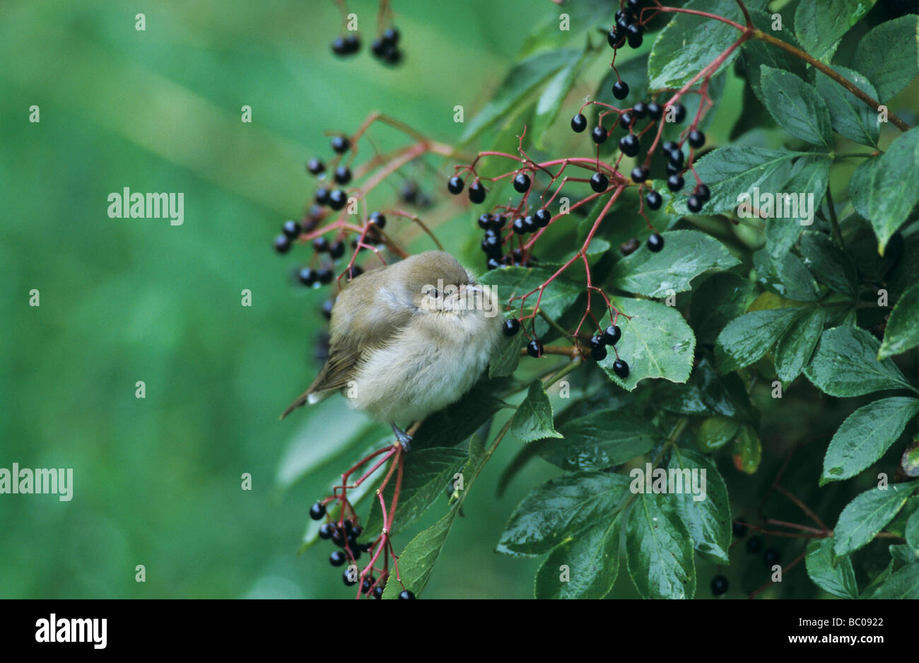 Garden Warbler Sylvia borin adult on Common Elderberry Sambucus nigra Oberaegeri Switzerland September 1998 Stock Photo