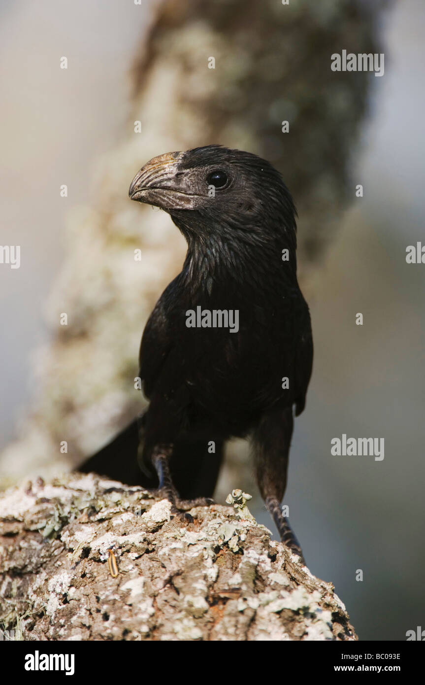 Groove billed Ani Crotophaga sulcirostris adult Willacy County Rio Grande Valley Texas USA June 2006 - Stock Image