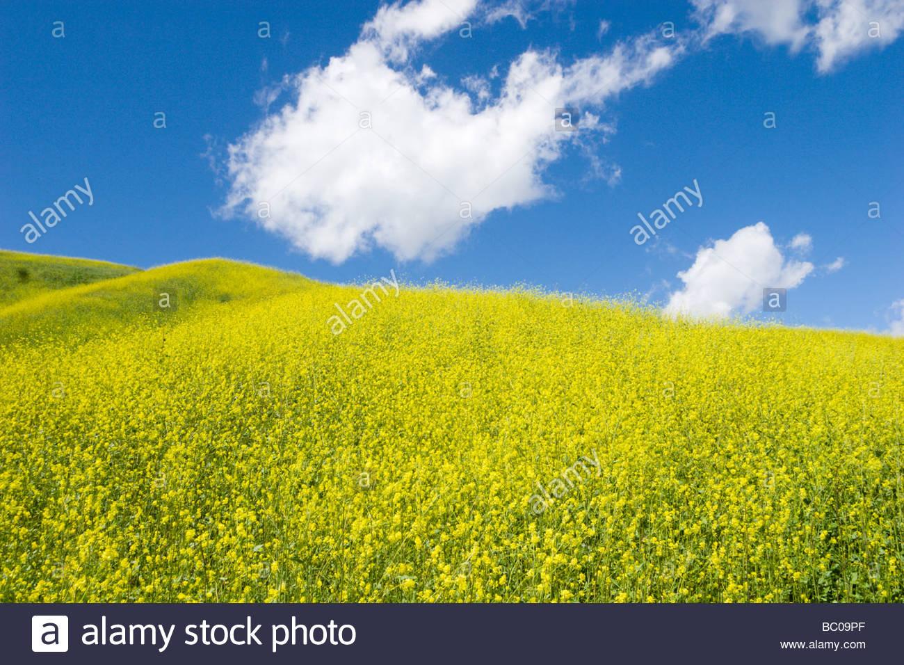 Blooming mustard flowers chino hills state park california stock blooming mustard flowers chino hills state park california freerunsca Image collections