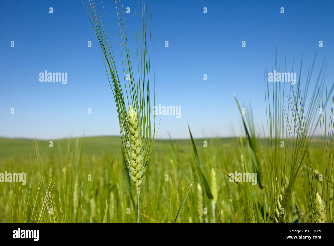 Espiga de Trigo Wheat spike - Stock Image