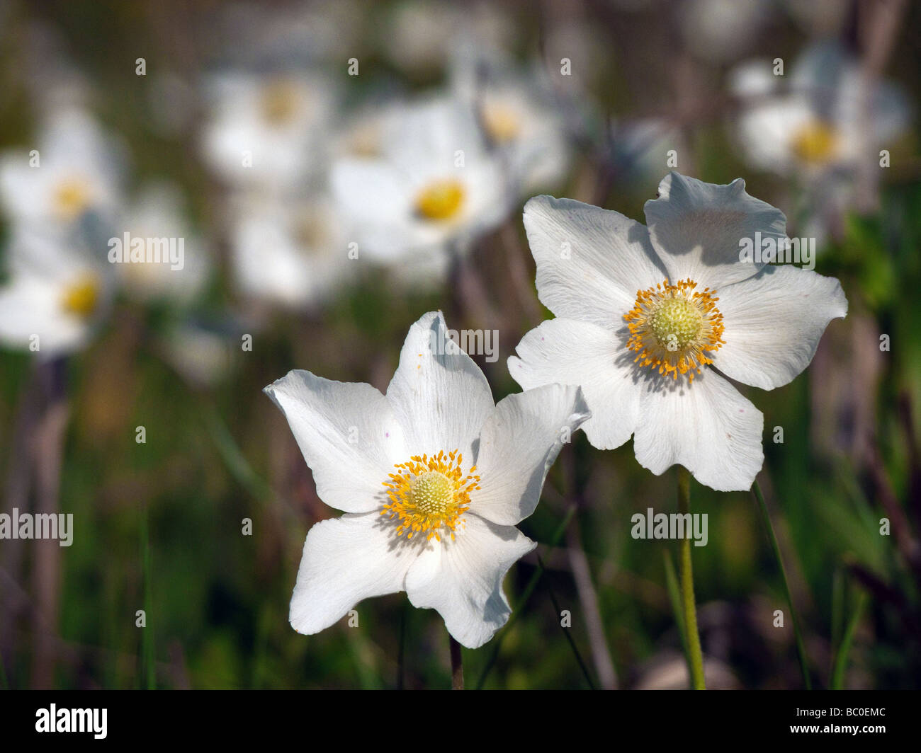 Anemone sylvestris ( Snowdrop Windflower  , Wood Anemone ) - Stock Image