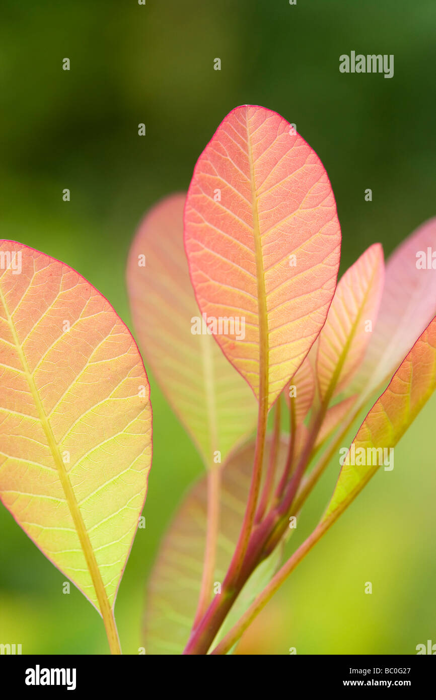 Cotinus coggria 'Flame', leaves. Spring growth - leaves turn green later. UK garden. Also called Smoke Bush. - Stock Image