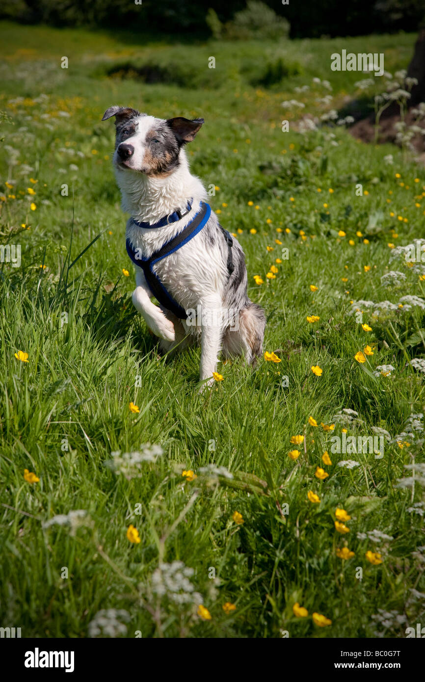 Blue merle border collie dog wearing a blue harness sat on grass with one paw raised on a sunny summer day - Stock Image