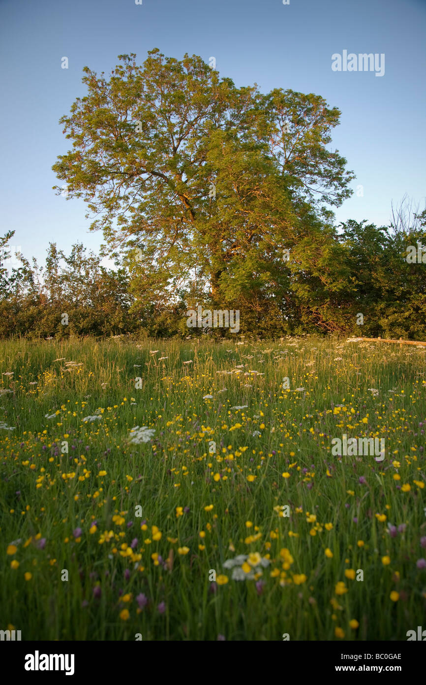 wildflower meadow and large old tree in the english countryside on a warm sunny summer evening - Stock Image