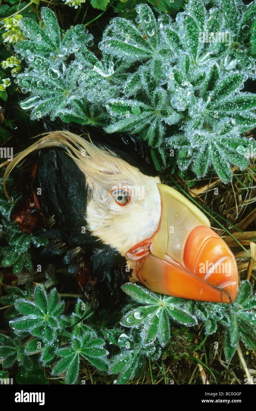 Tufted Puffin (Fratercula cirrhata) head of bird killed by arctic fox, St. Paul Island Pribilof Islands, Bering - Stock Image