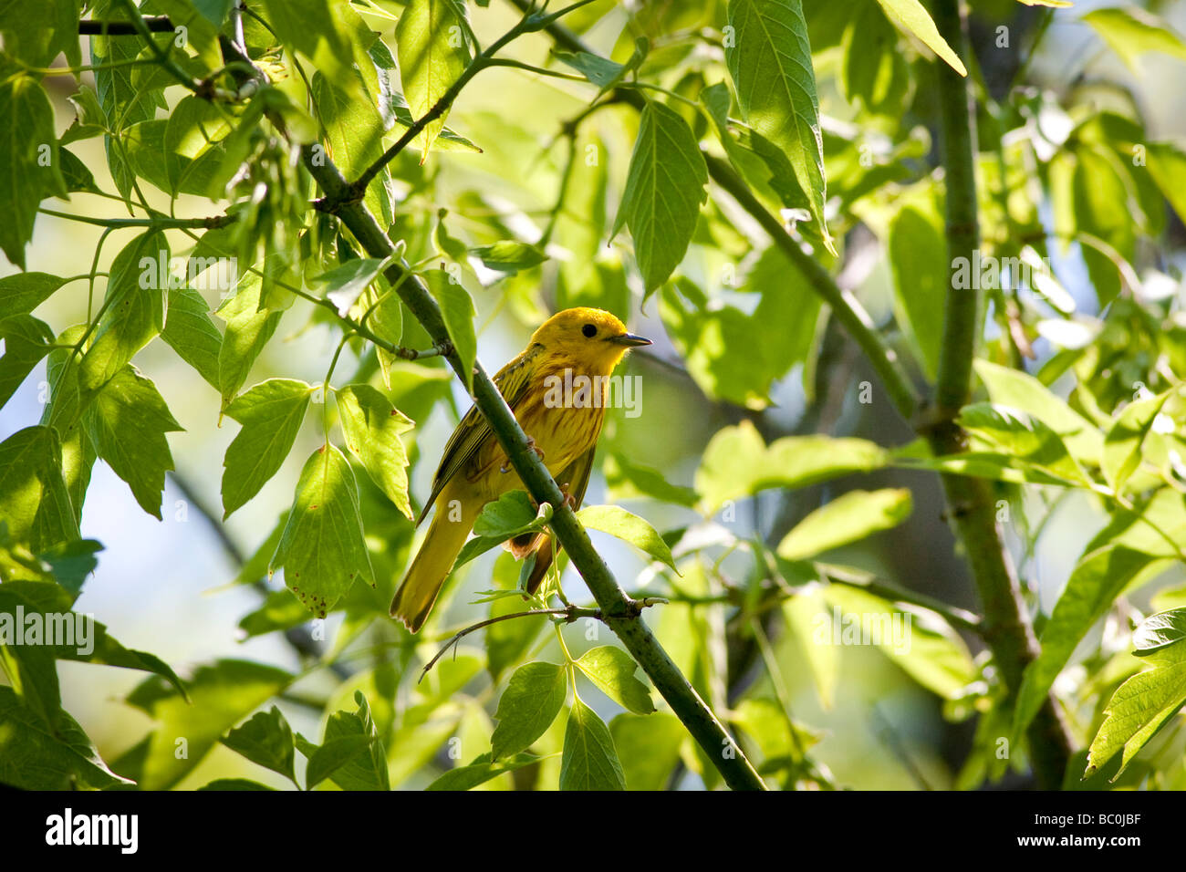 Yellow Warbler - Setophaga petechia – perched on a branch with green leaves - Stock Image