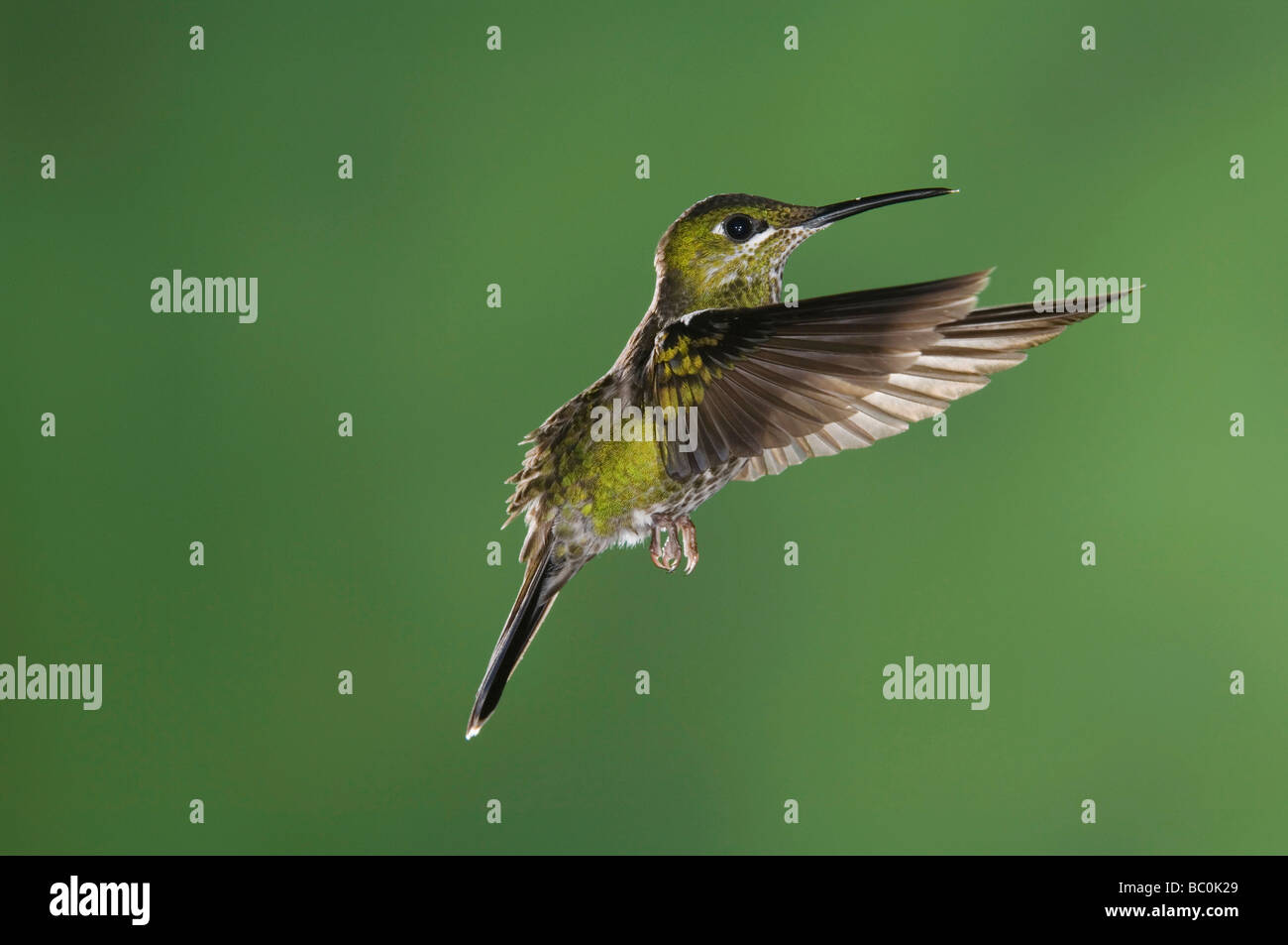 Green crowned Brilliant Heliodoxa jacula Female in flight Central Valley Costa Rica Central America December 2006 - Stock Image
