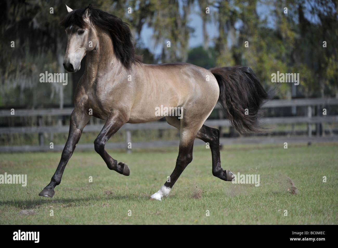Lusitano Stallion - Stock Image
