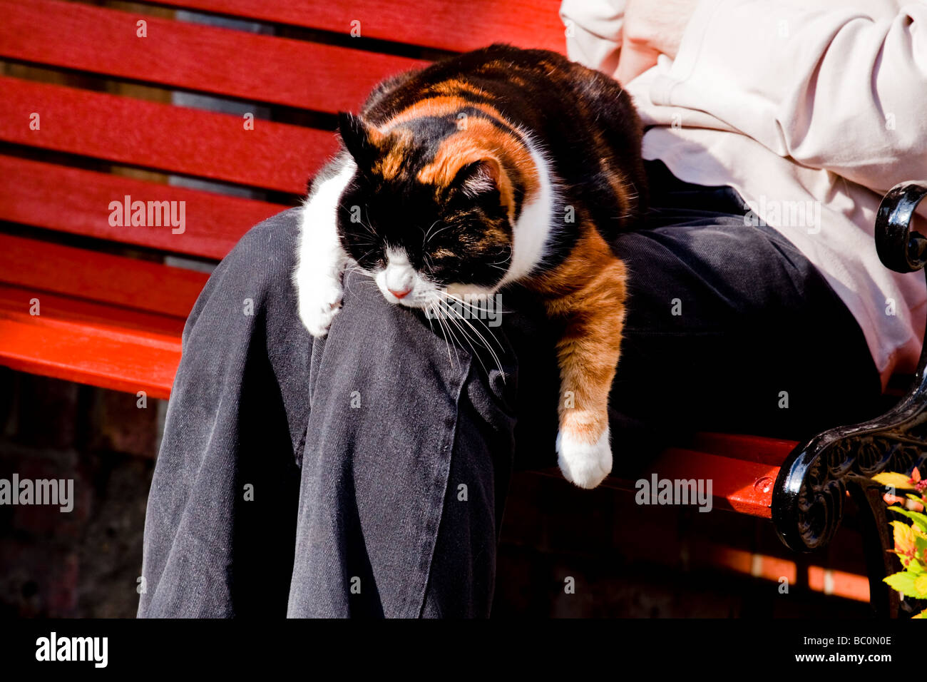 TORTOISESHELL DOMESTIC CAT DRAPED ON A LAP LOOKING SLEEPY - Stock Image