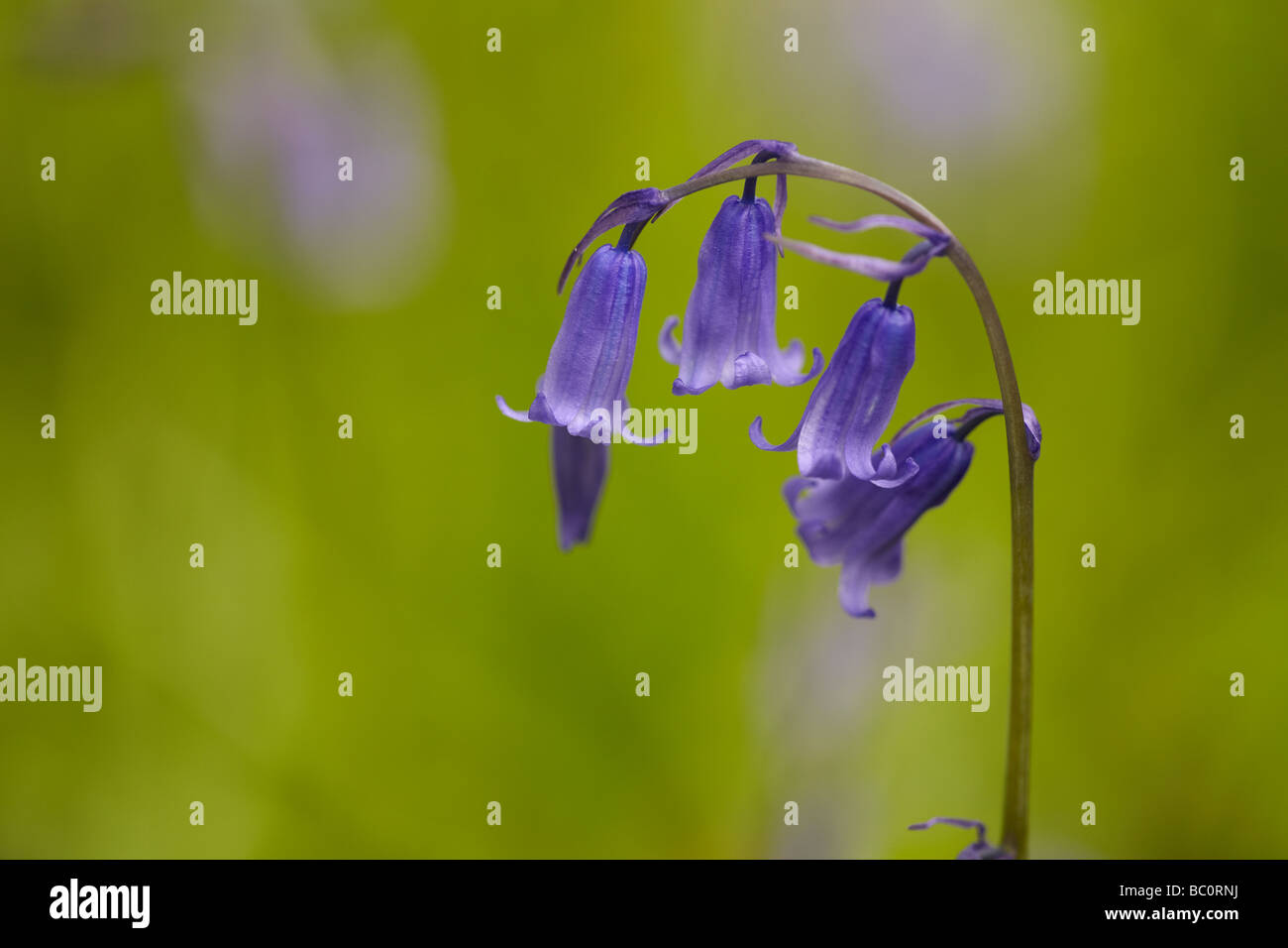 Bluebells on a green background Stock Photo