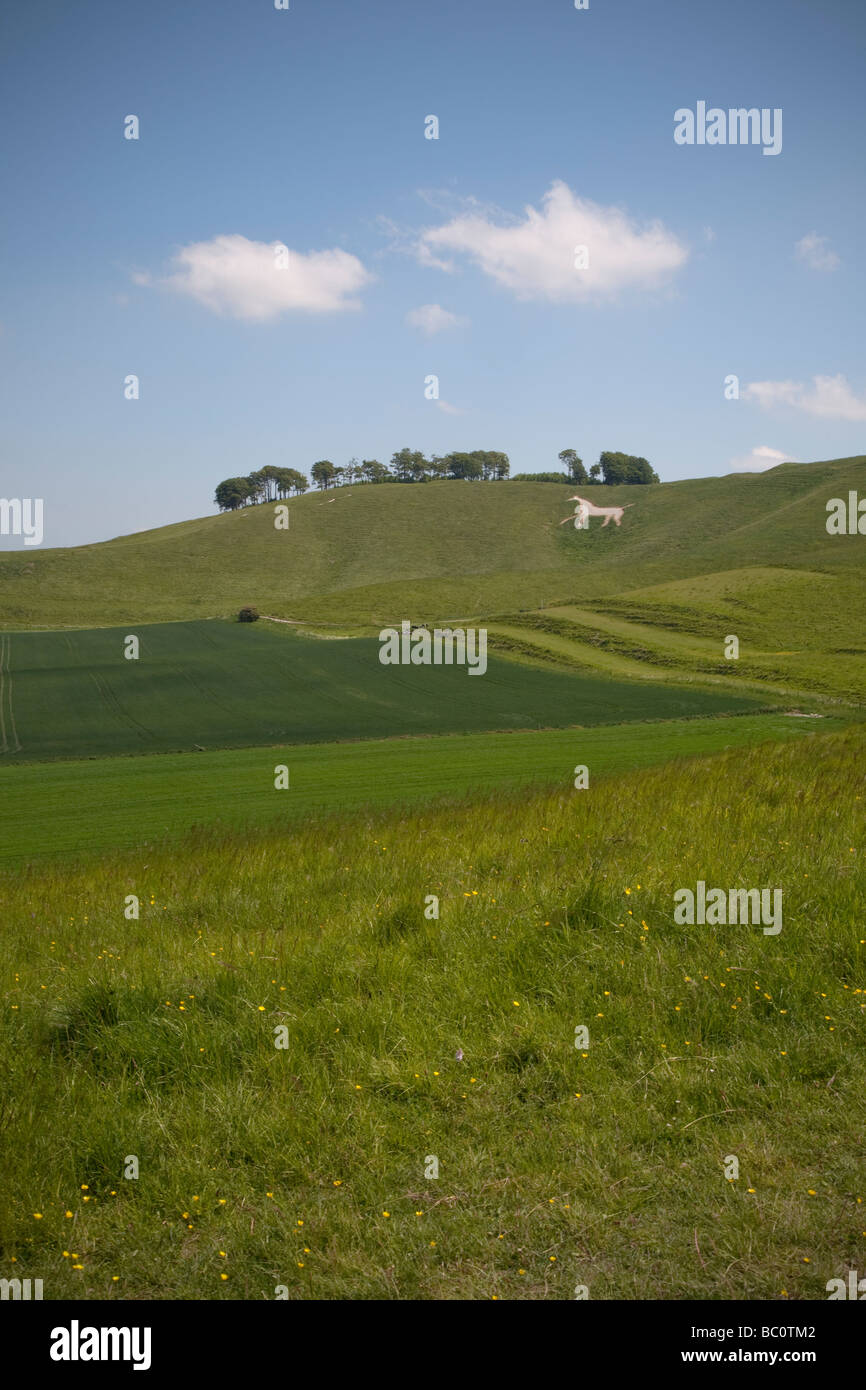 chalk white horse and monument on Cherhill Down near Calne in Wiltshire on a sunny summer day Stock Photo