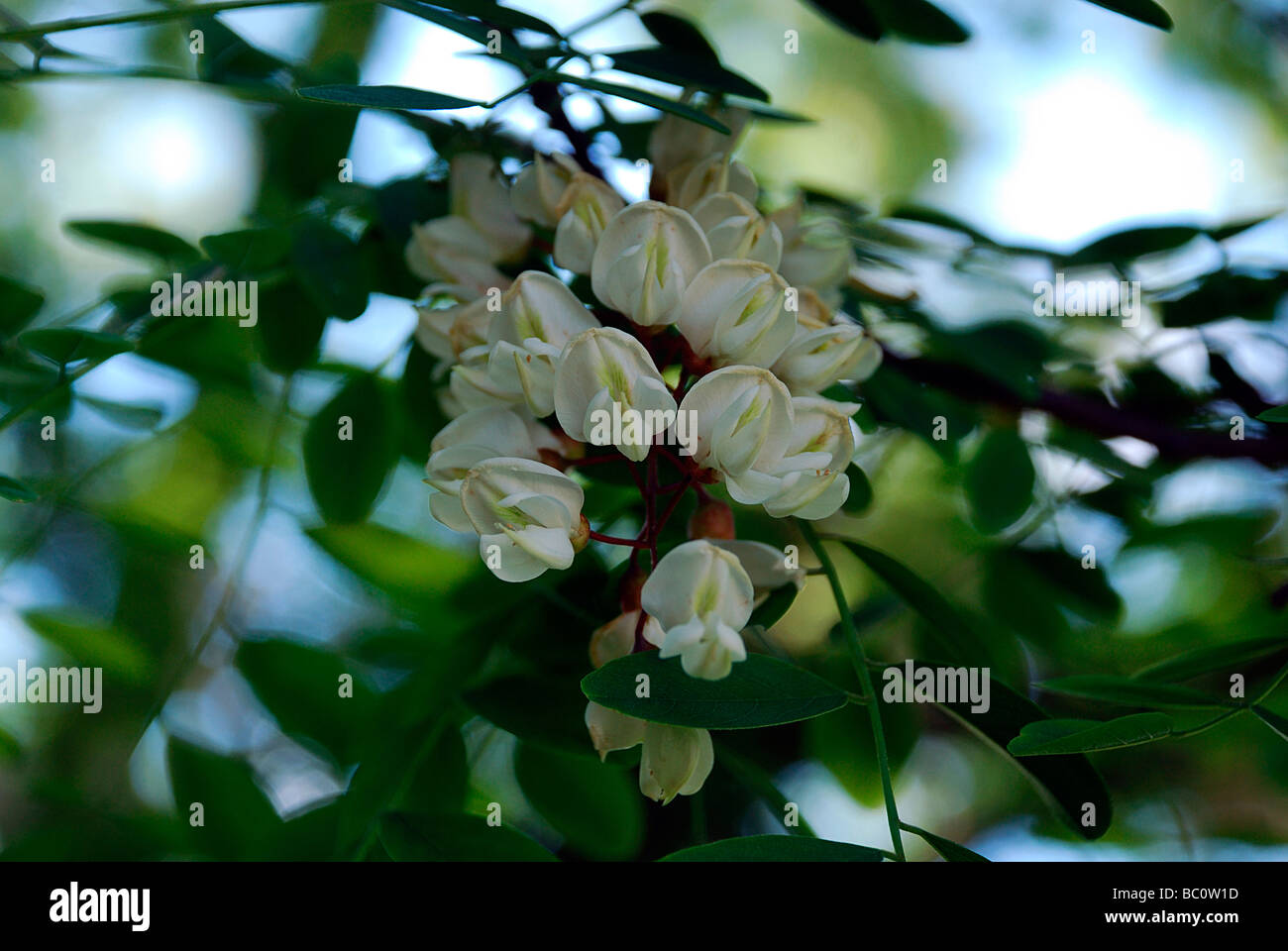 Close Up Of The Fragrant White Flowers Of The Black Locust Tree