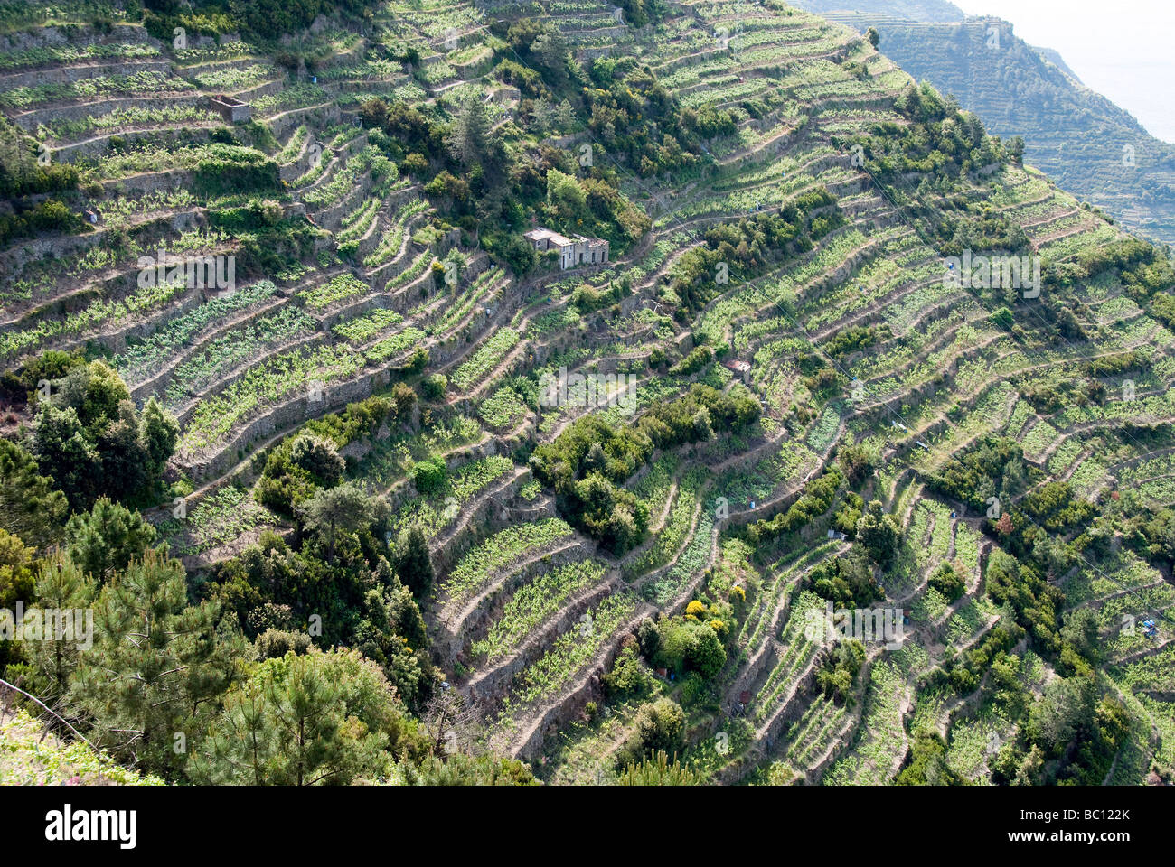Terrced mountainsides of the Cinque Terre with grape vines - Stock Image