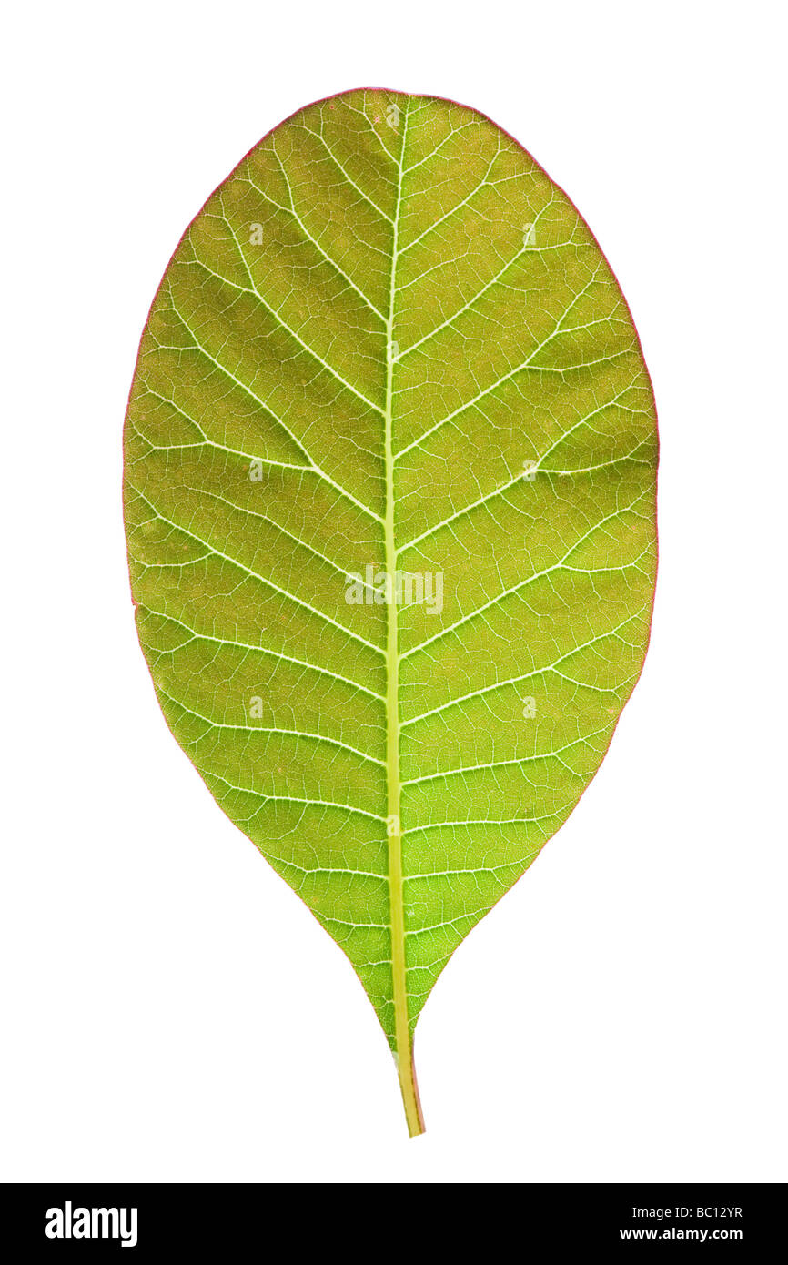 Oval shaped leaf. From Cotinus. - Stock Image