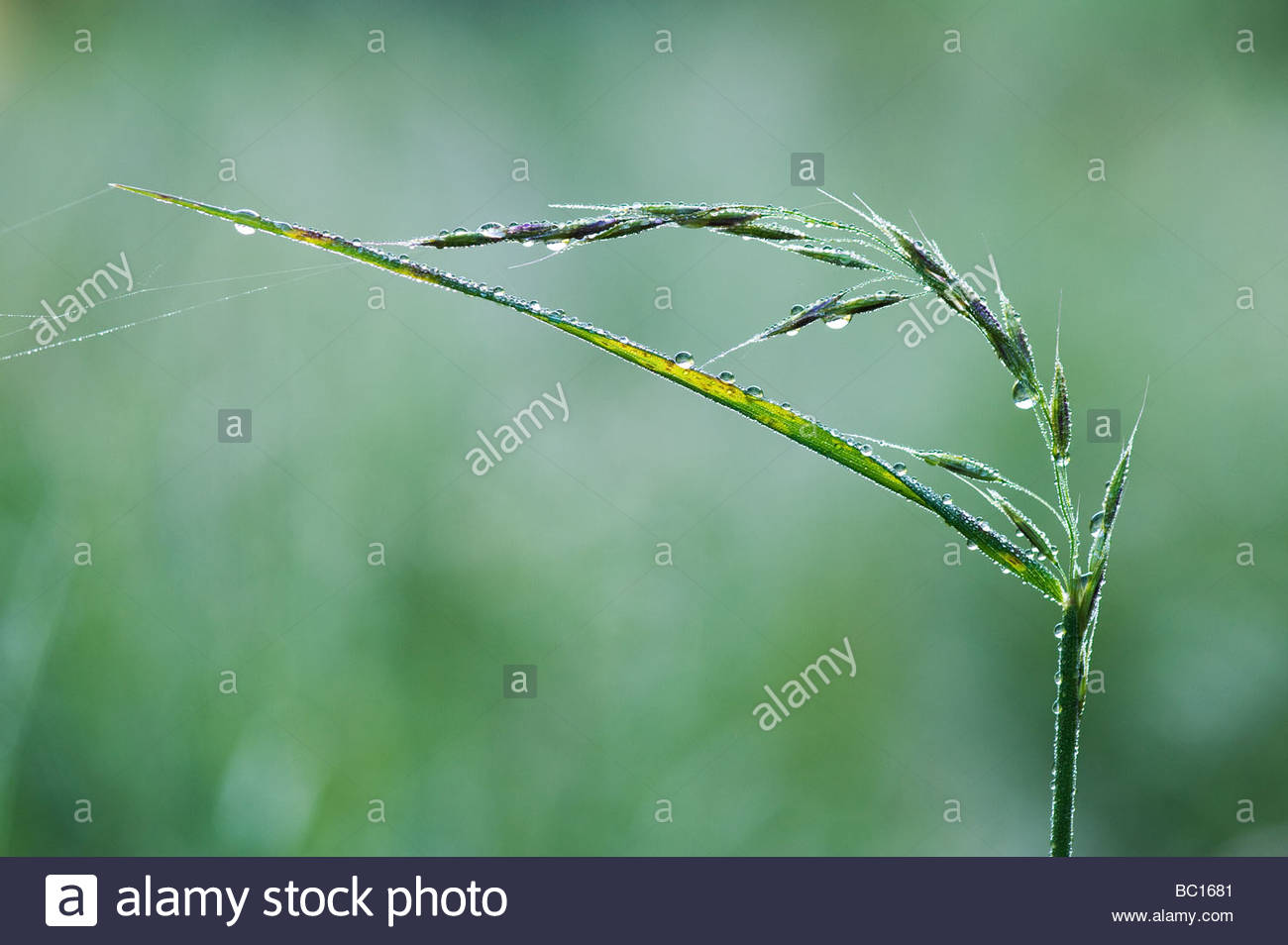 Water drops on grass that has gone to seeds - Stock Image