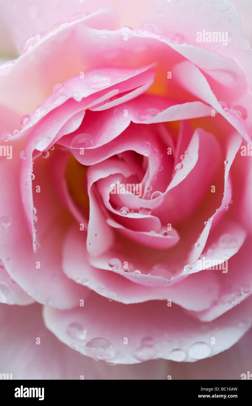 Rosa. Shrub Rose 'Felicia' flower - Stock Image