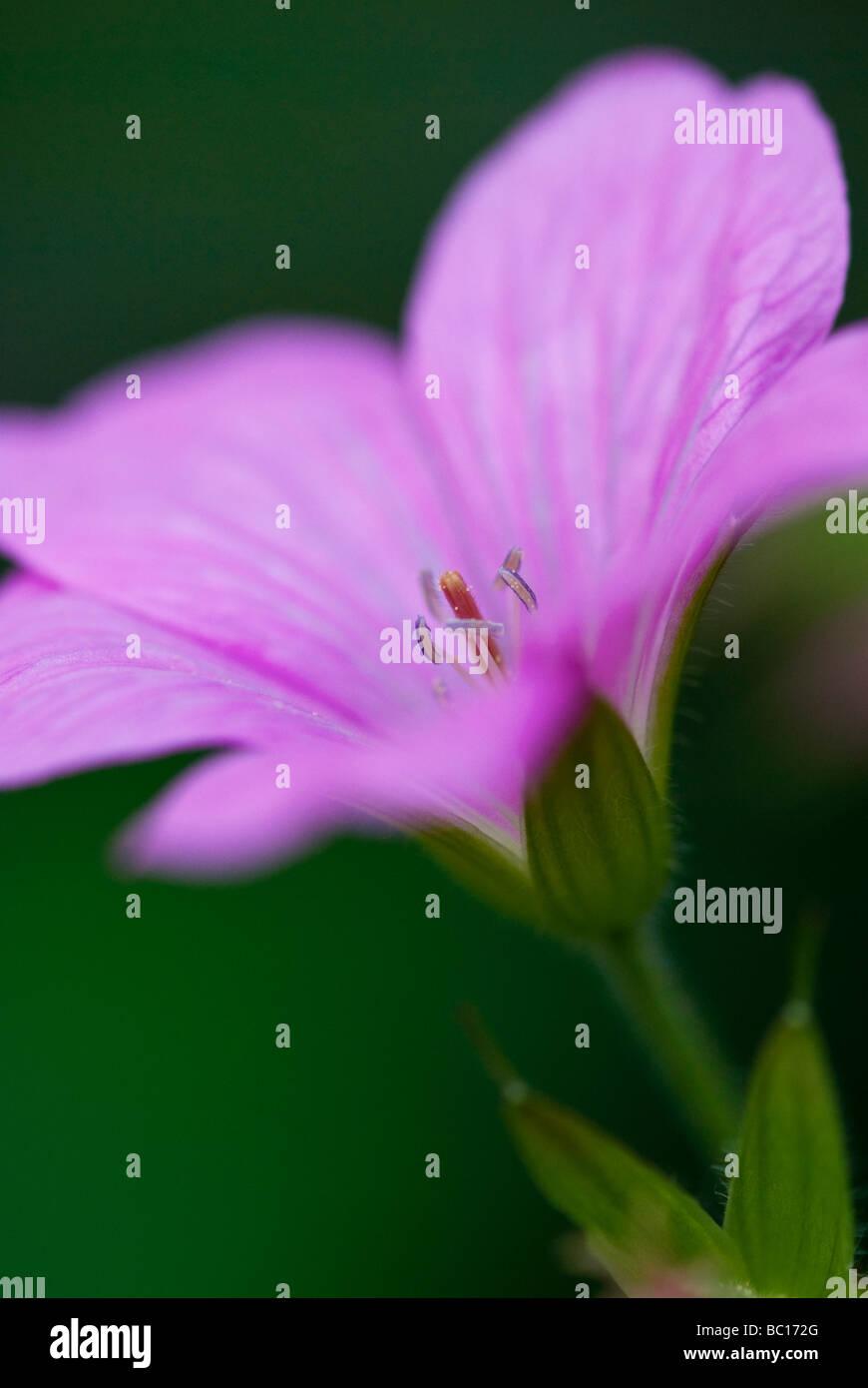 Geranium endressii, Wargrave Pink. Macro shot of a single flowerhead. - Stock Image