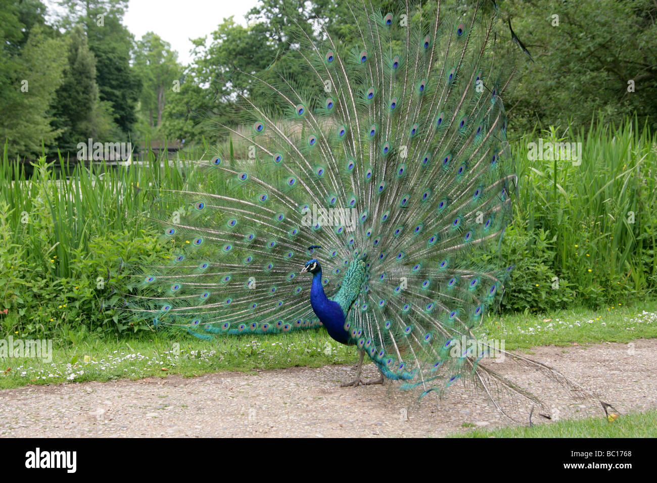 Peacock Pavo cristatus in Courtship Display - Stock Image