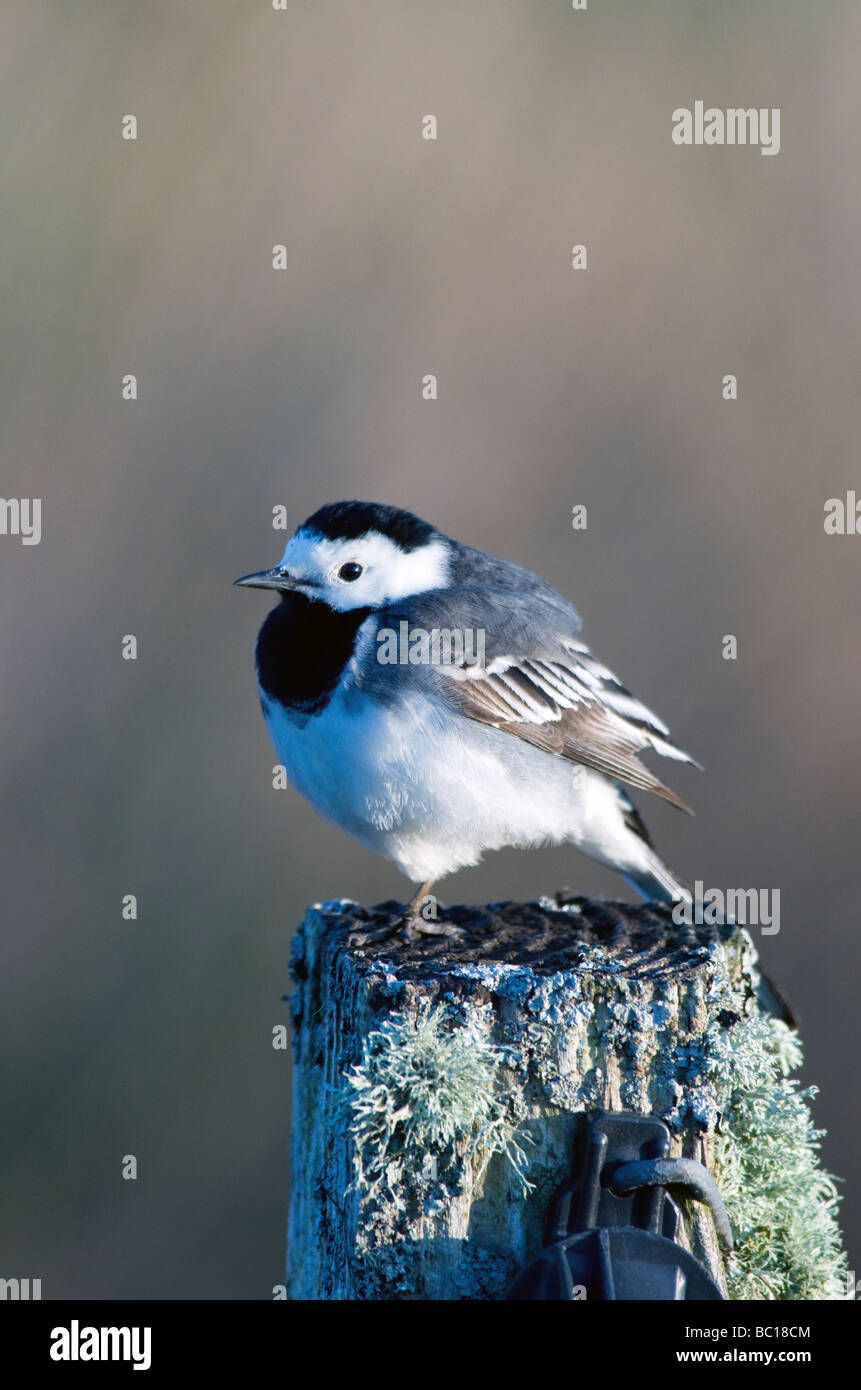 a pied wagtail motacilla alba sitting fluffed up on an old mossy fence post Stock Photo