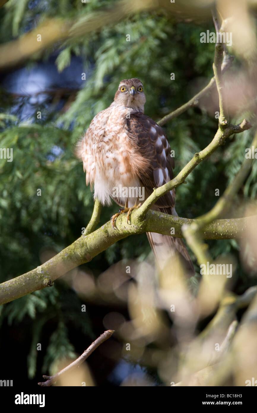 Sparrow Hawk Accipiter nisus (Accipitridae) - Stock Image