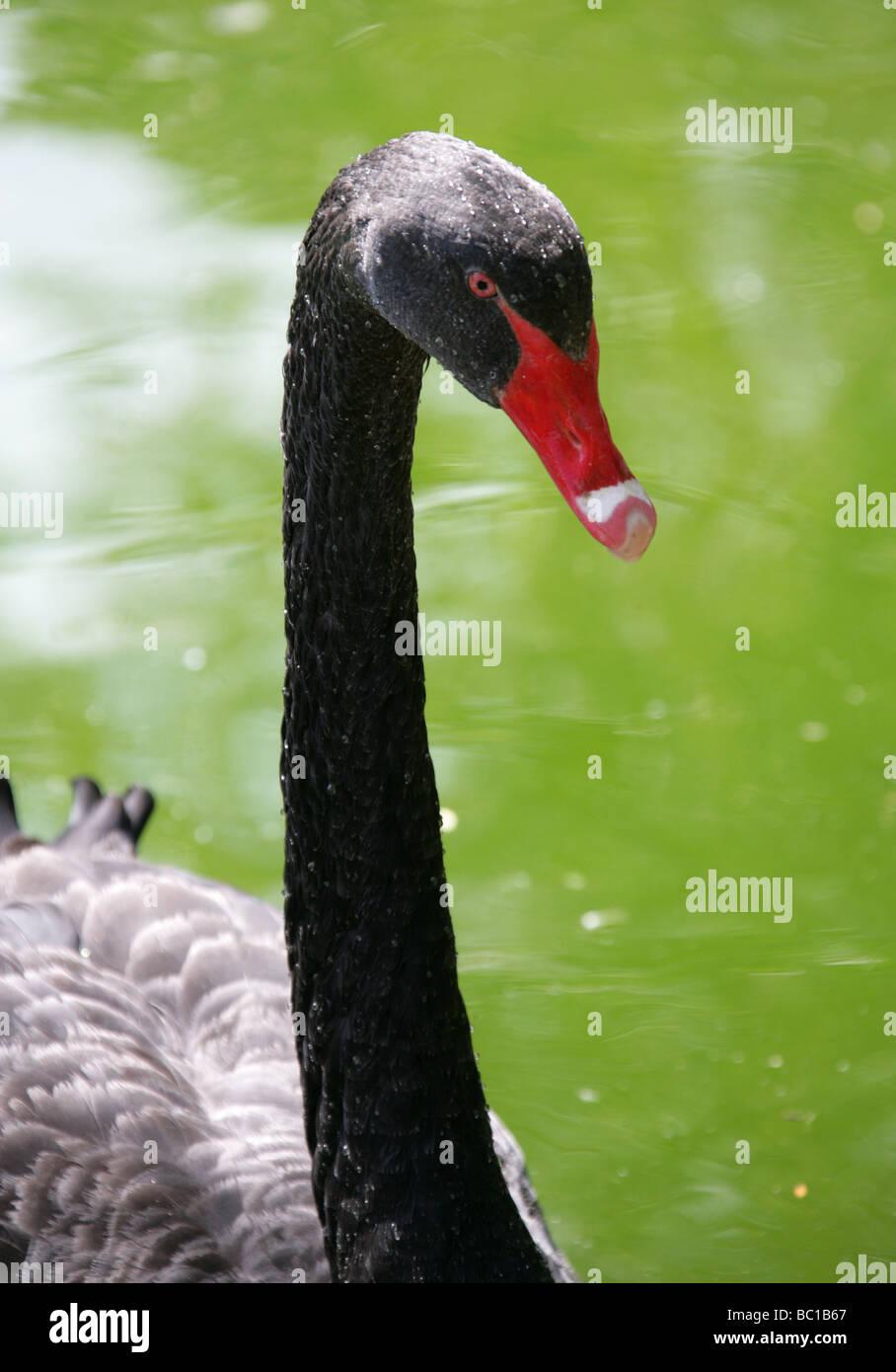 Black Swan, Cygnus atratus, Anatidae - Stock Image