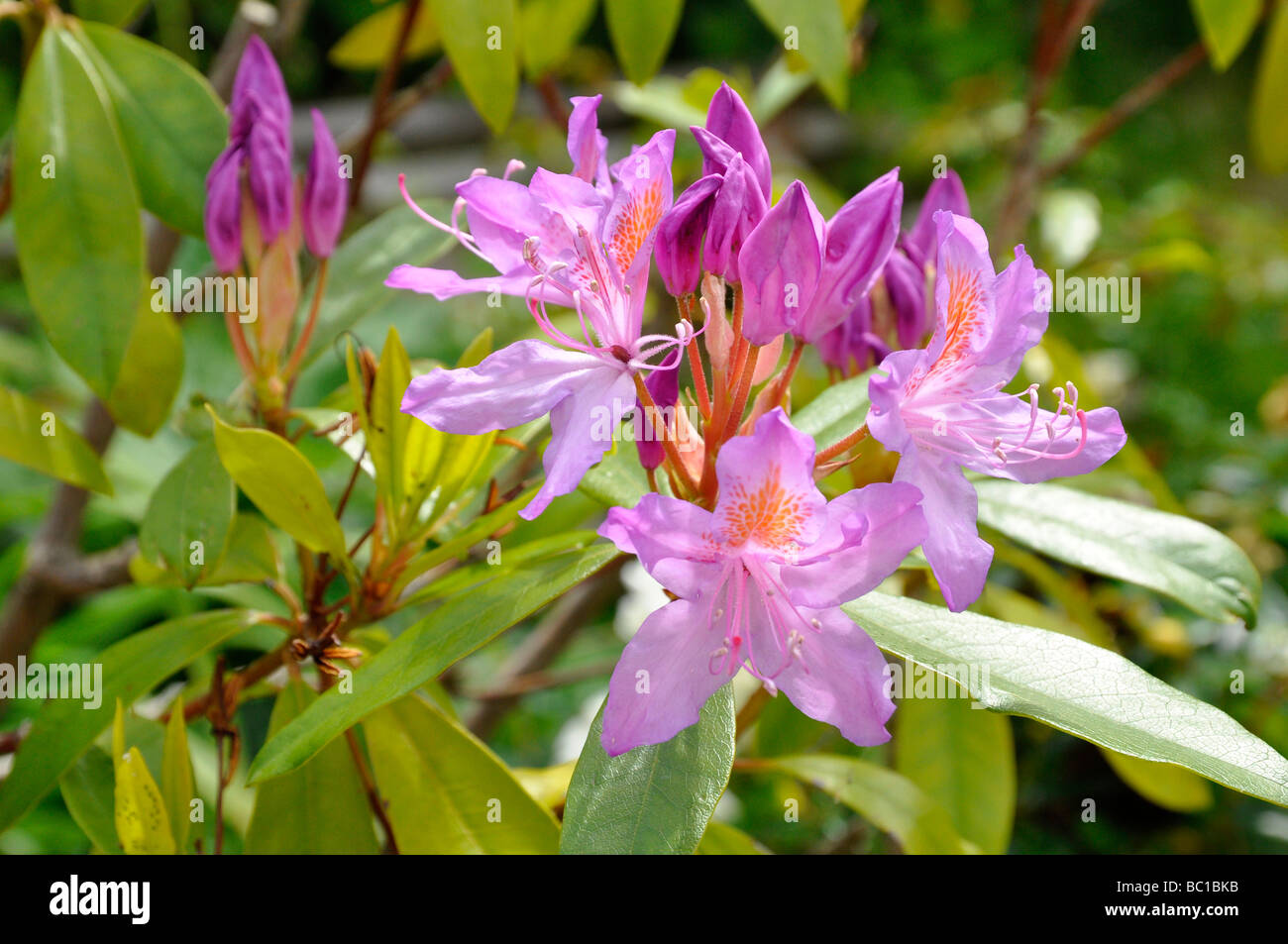 Rhododendron Flowers - Purple - Stock Image