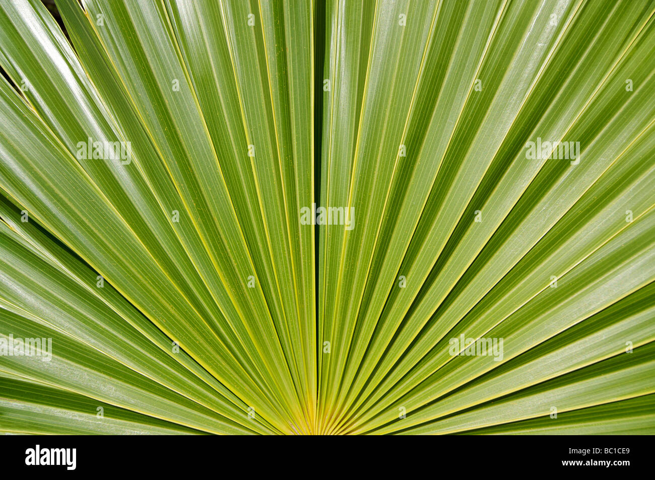 Detail of a tropical palm. Cuba - Stock Image