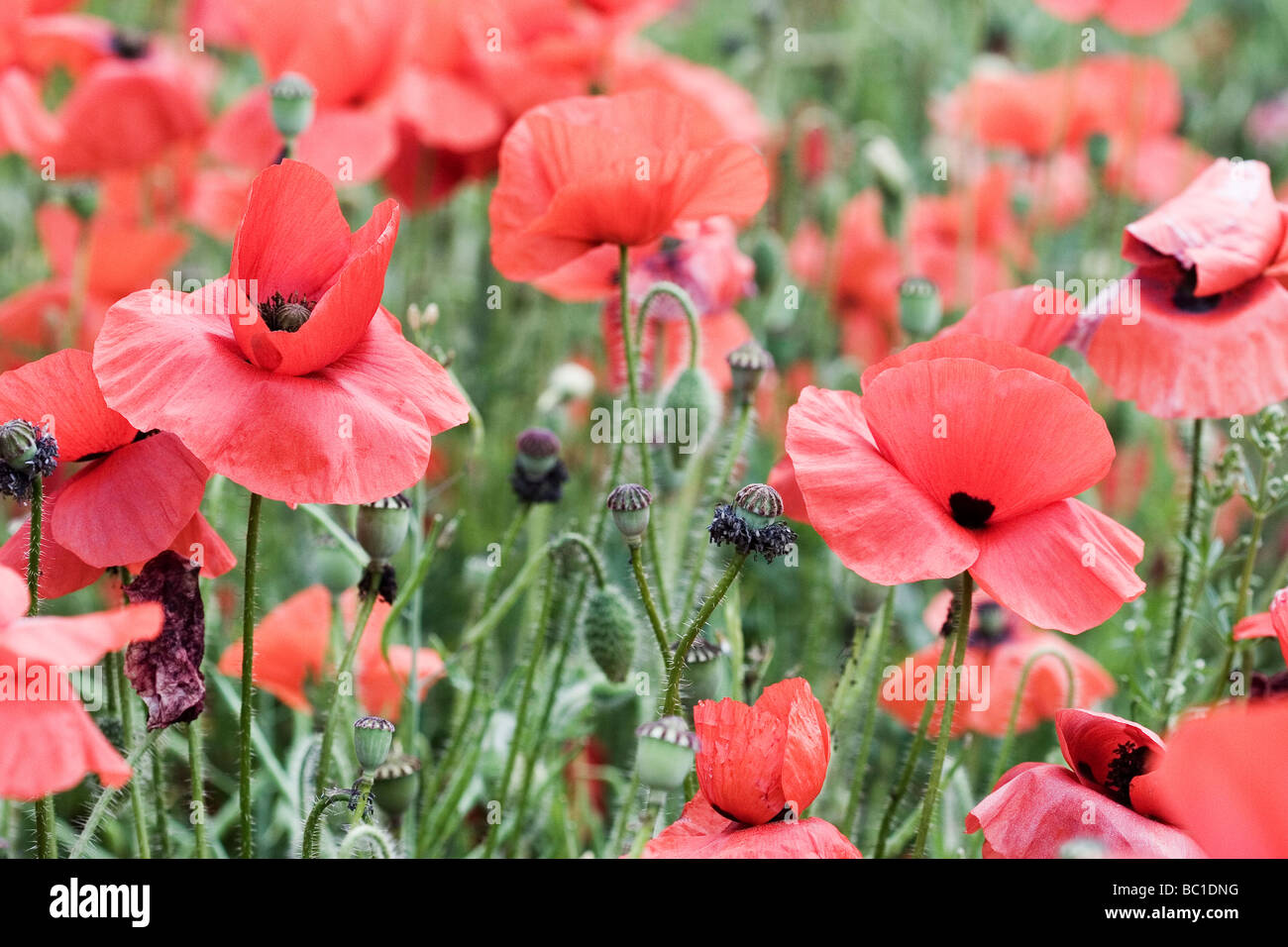 Poppy field Kent - Stock Image