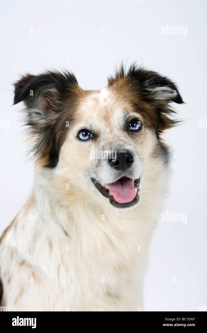 Mixed Breed Dog crossbred Border Collie Stock Photo