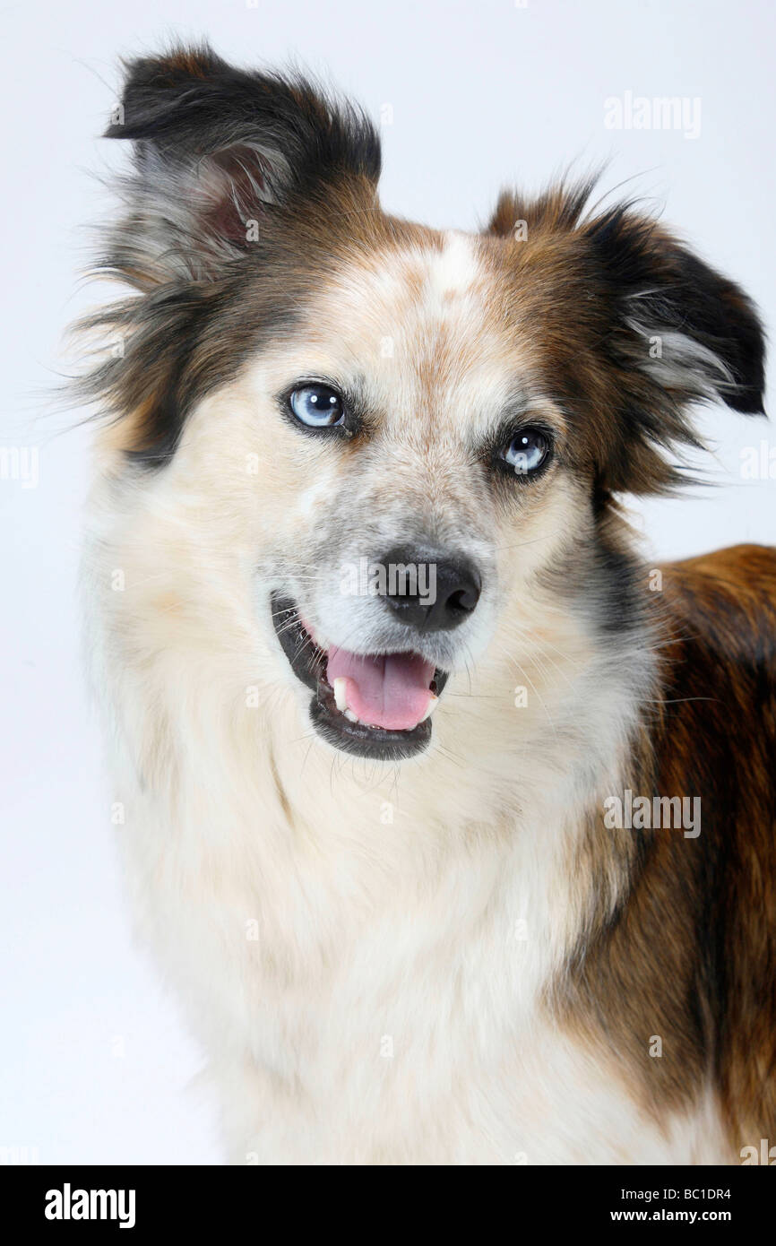 Mixed Breed Dog crossbred Border Collie - Stock Image