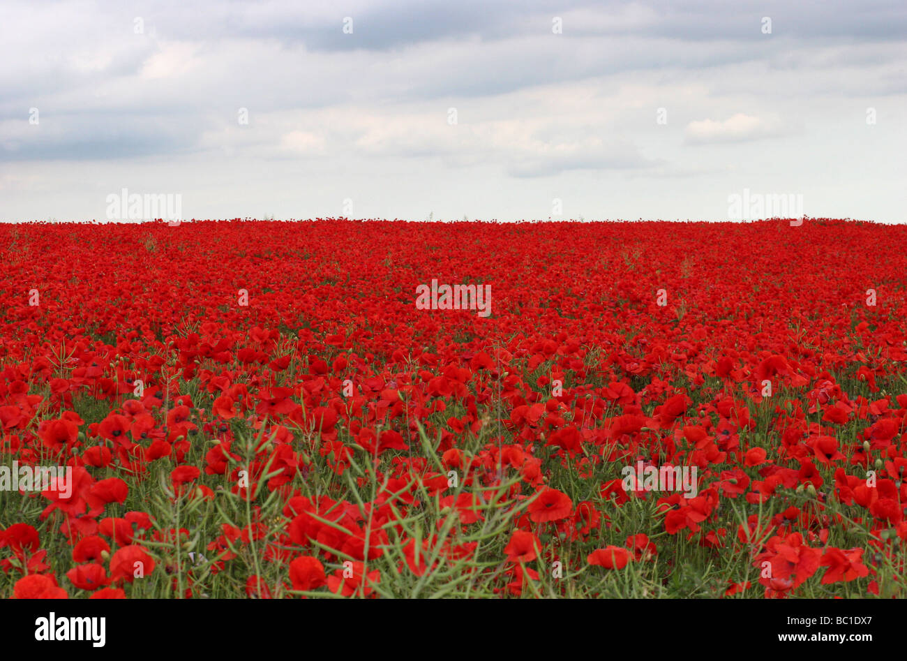 Poppy field - Stock Image