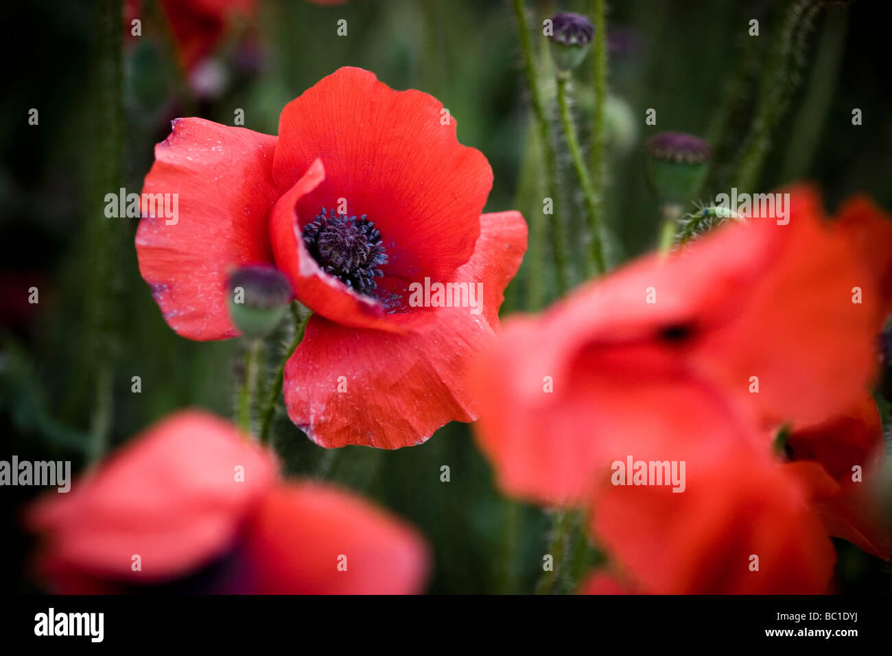 Poppy close up Kent - Stock Image
