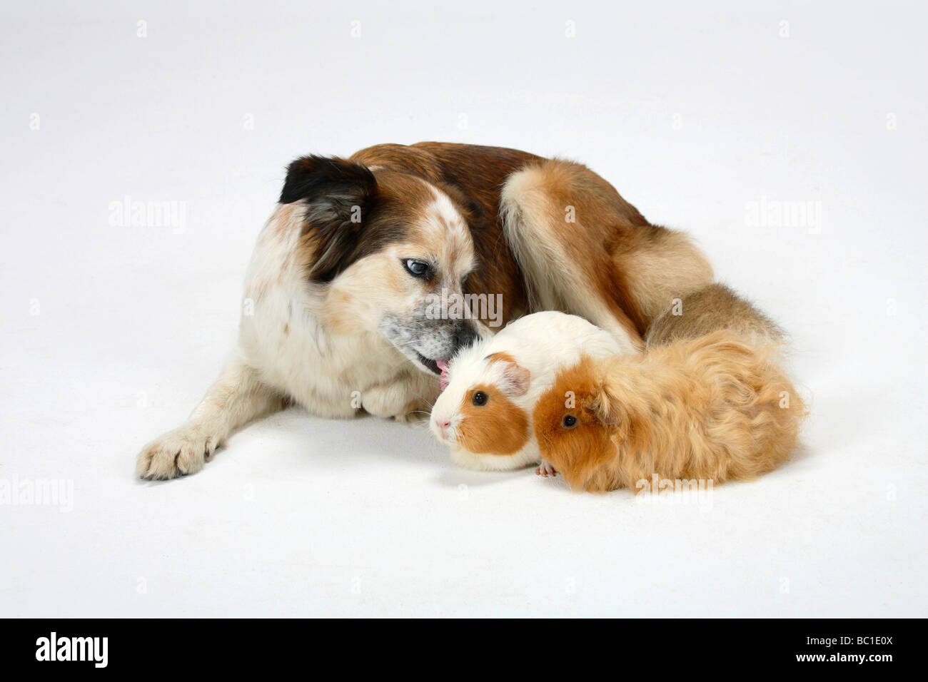 Mixed Breed Dog crossbred Border Collie with Guinea Pigs - Stock Image