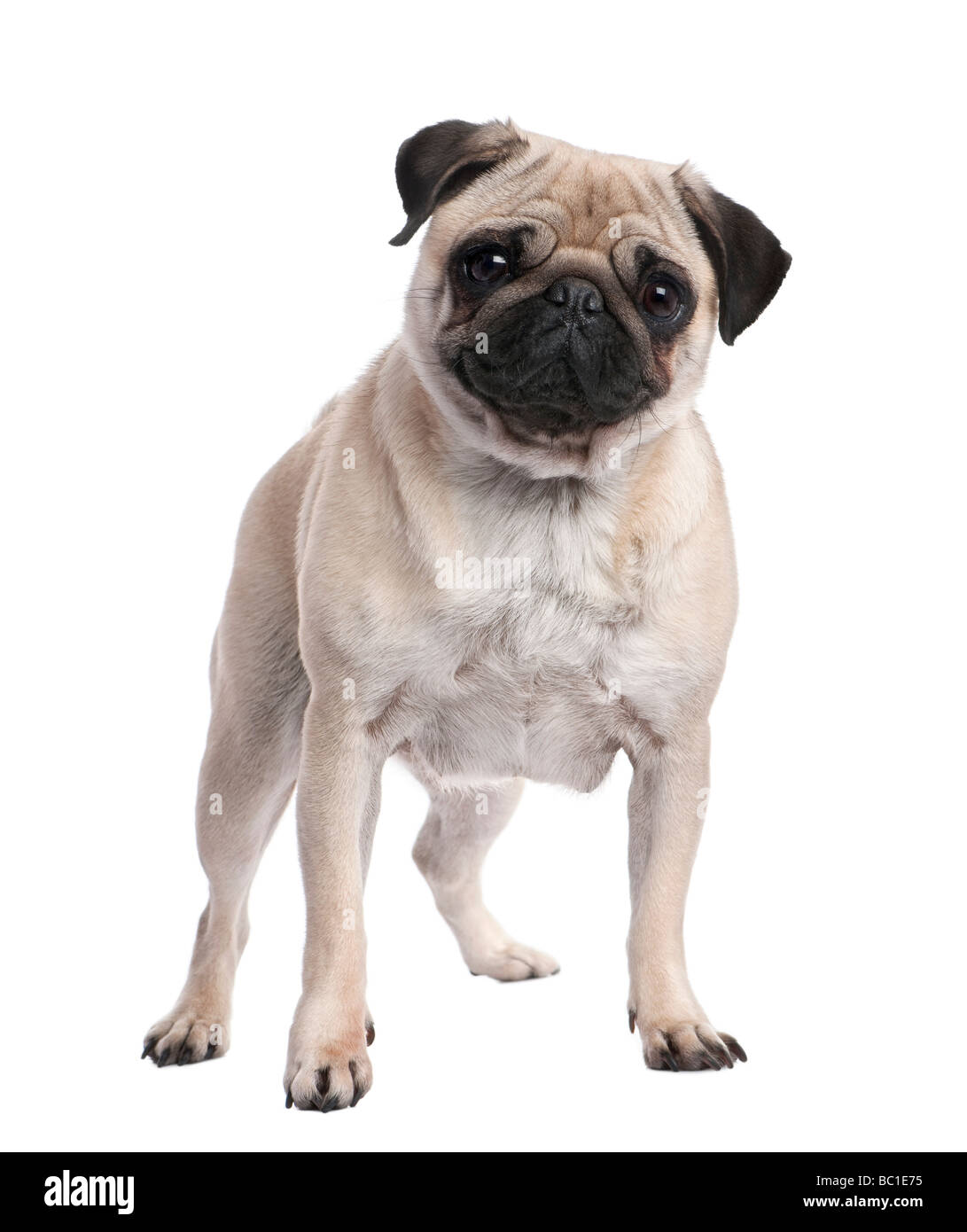Beige pug standing up in front of the camera 2 years old in front of a white background - Stock Image