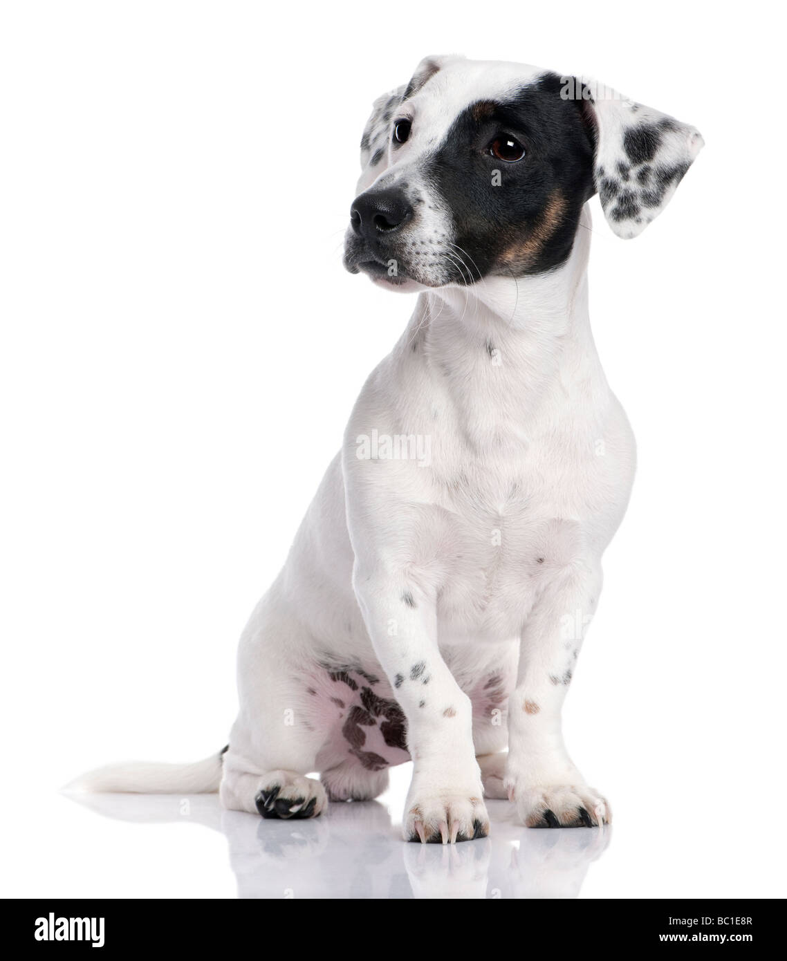 Jack russell puppy isolated and sitting in front of the camera Stock Photo