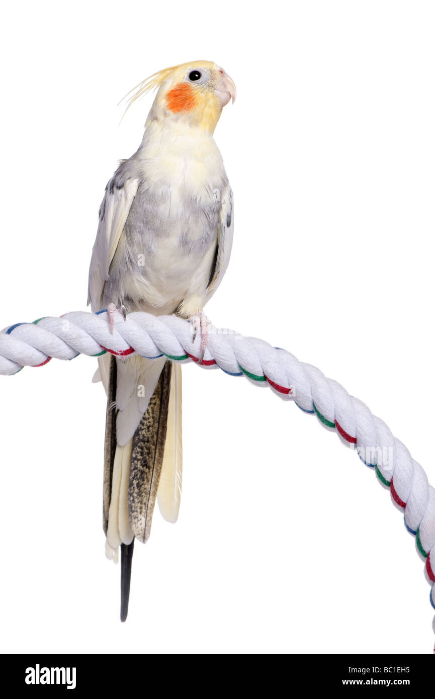 Cockatiel perching on a rope Nymphicus hollandicus in front of a white background - Stock Image