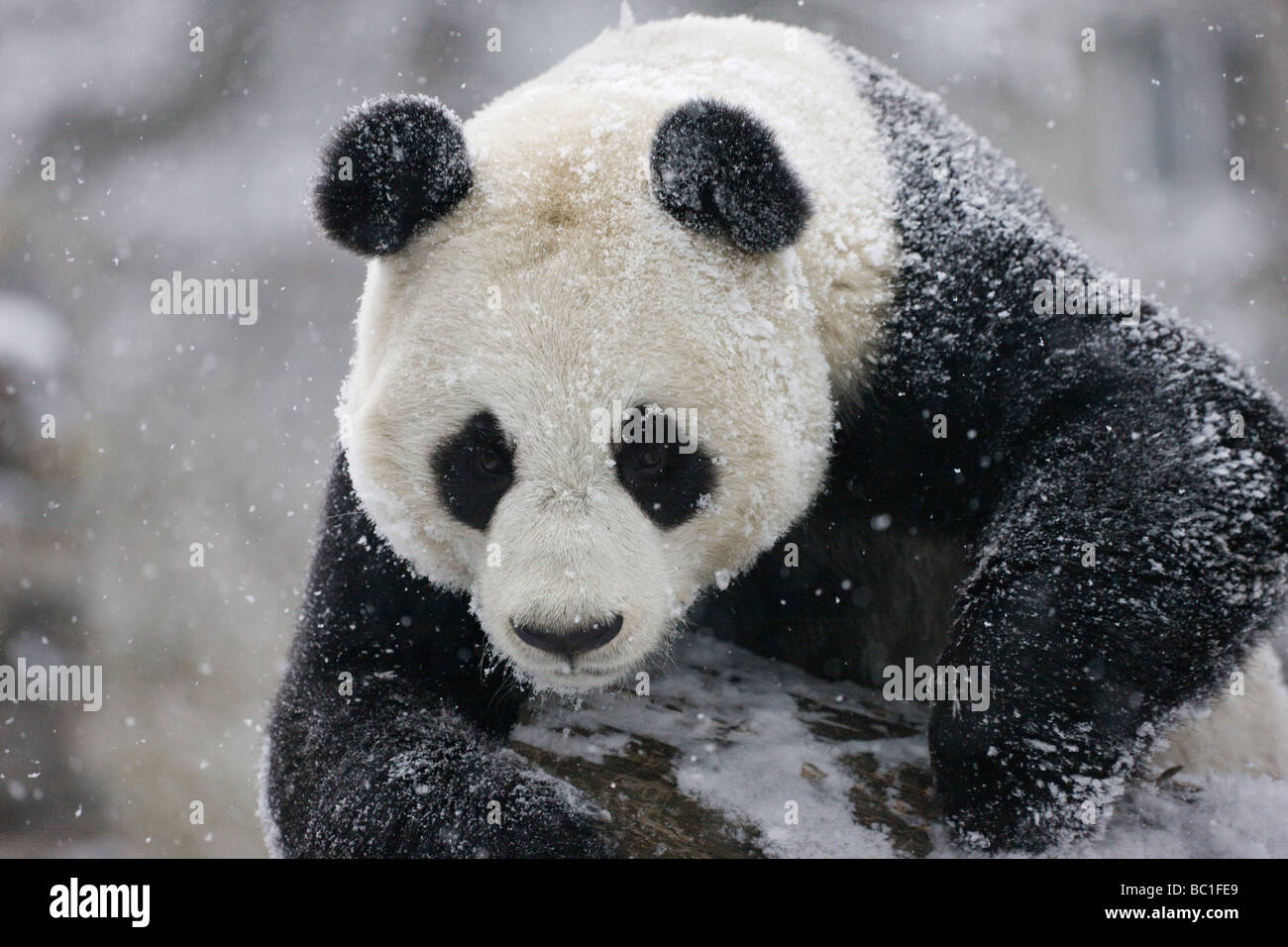 Giant panda on snow Wolong Sichuan China - Stock Image