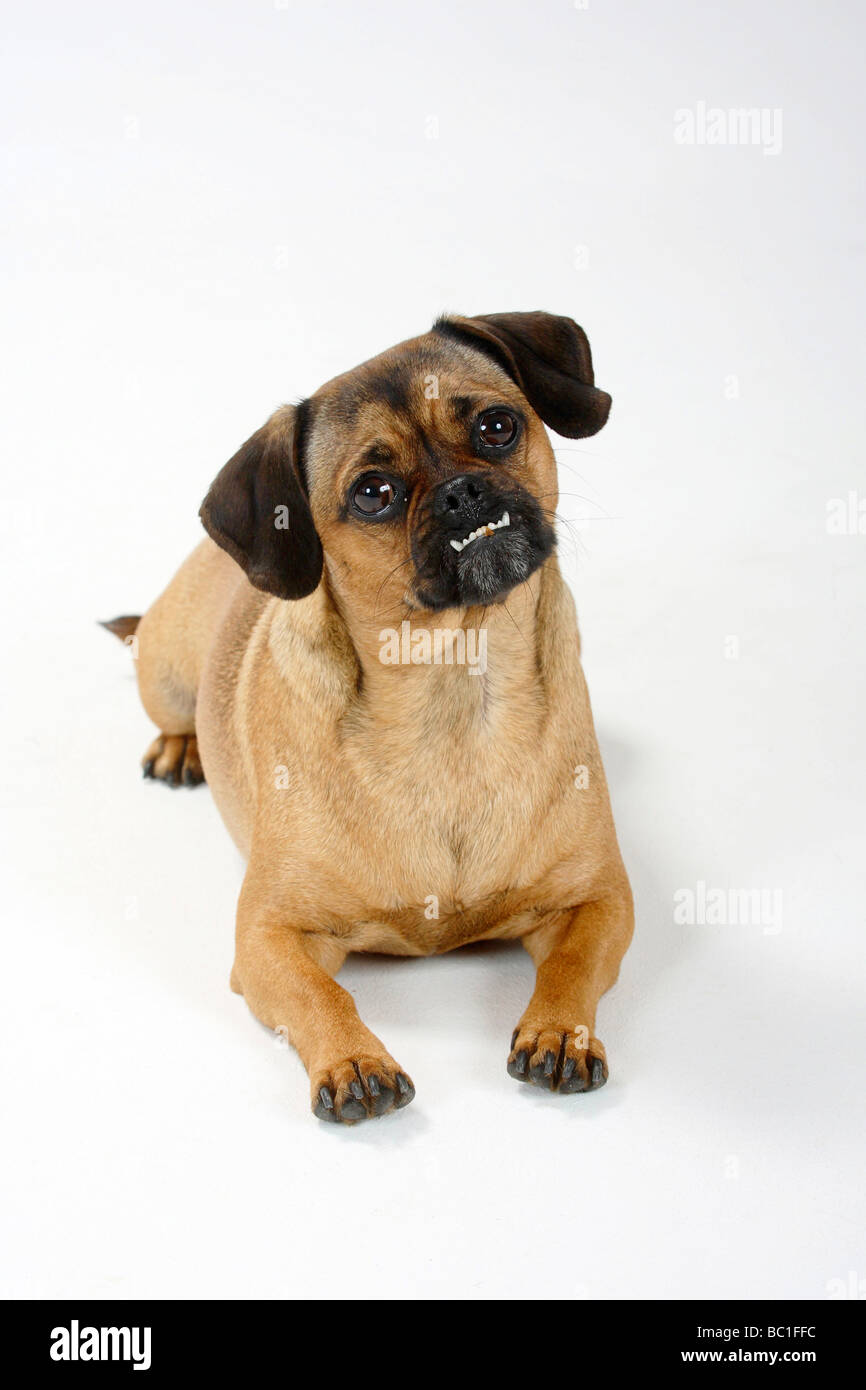 Mixed Breed Dog Crossbred Pug Dachshund Undershot Bite Bitch Stock
