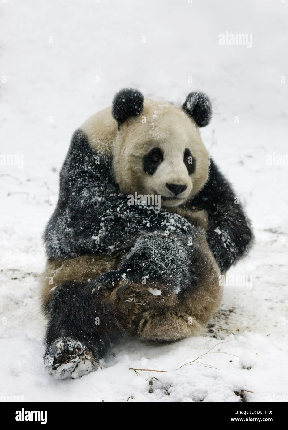 Giant panda on snow Wolong Sichuan China - Stock Image
