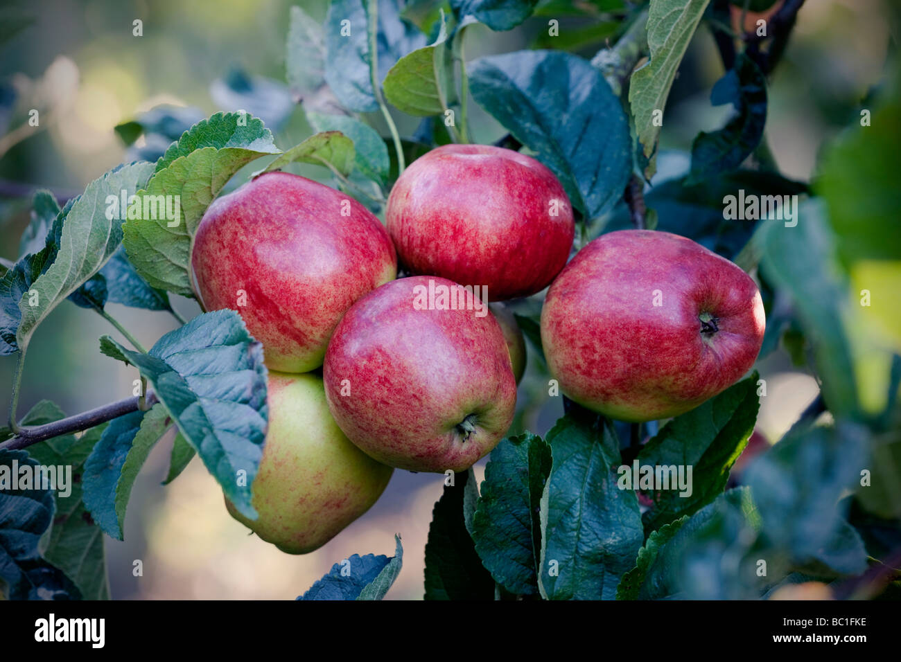 Dessert apples 'Norfolk Royal'  in an English orchard - Stock Image