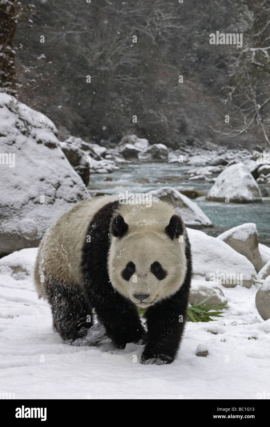 Giant panda on snow by the river Wolong Sichuan China - Stock Image