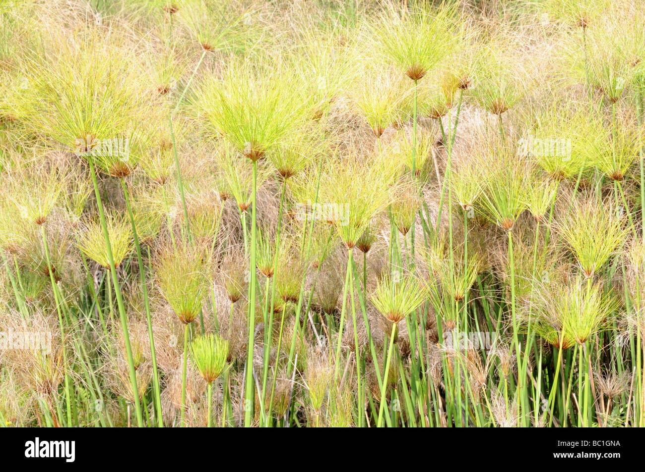 Papyrus Sedge or Paper Reed Cyperus papyrus Mlilwane Wildlife Sanctuary Swaziland South Africa Stock Photo