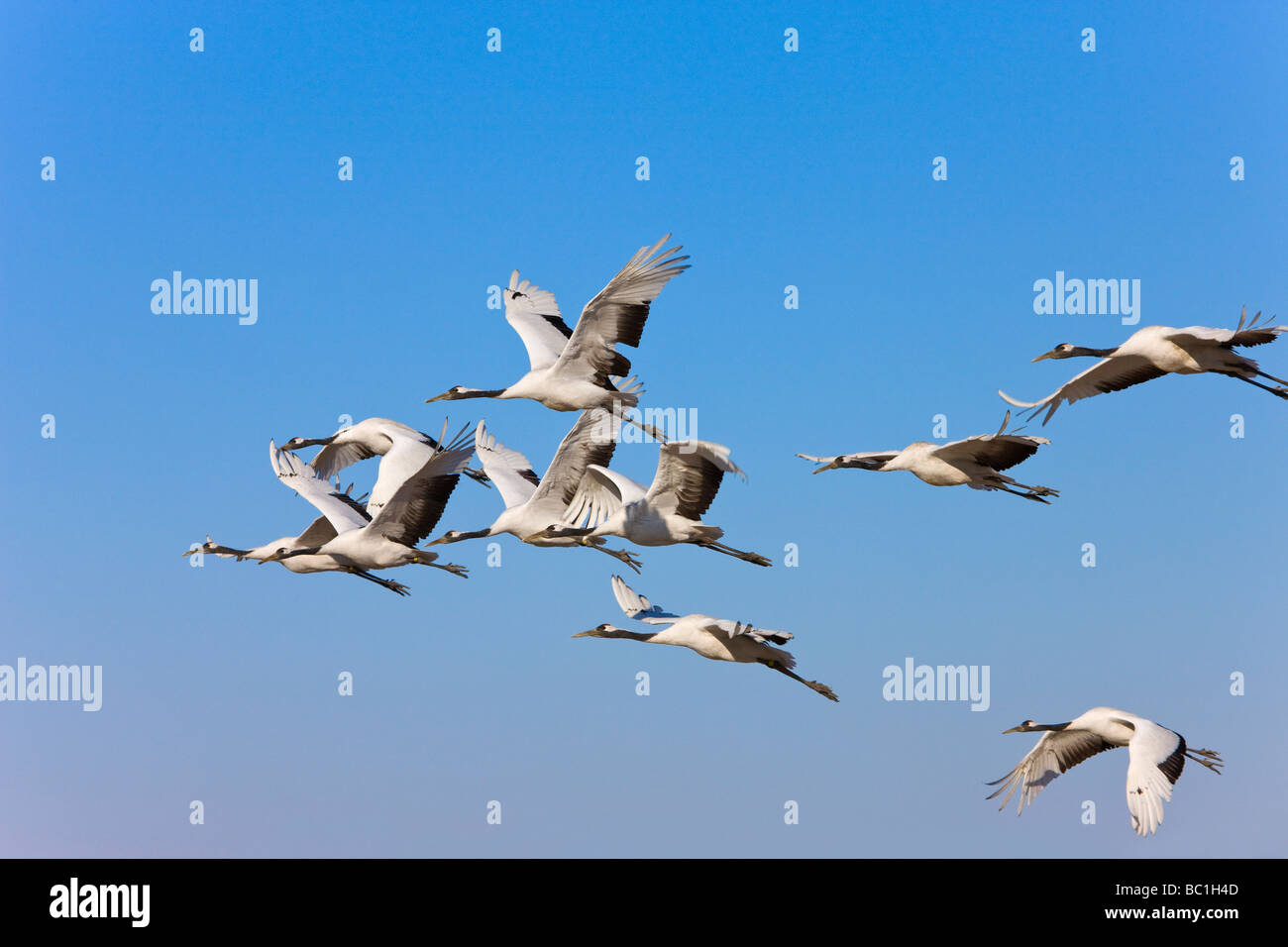 Red crowned cranes flying Zhalong Nature Reserve Heilongjiang China - Stock Image