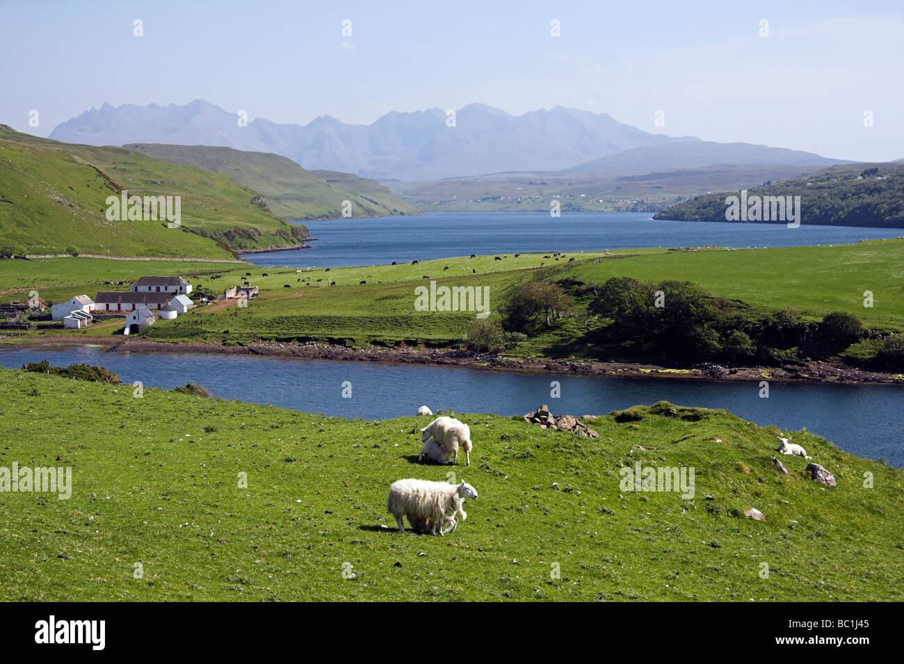 Sheep grazing, Loch Harport,  Cuillin Hills, Isle of Skye, Inner Hebrides, West Coast of Scotland, UK Stock Photo