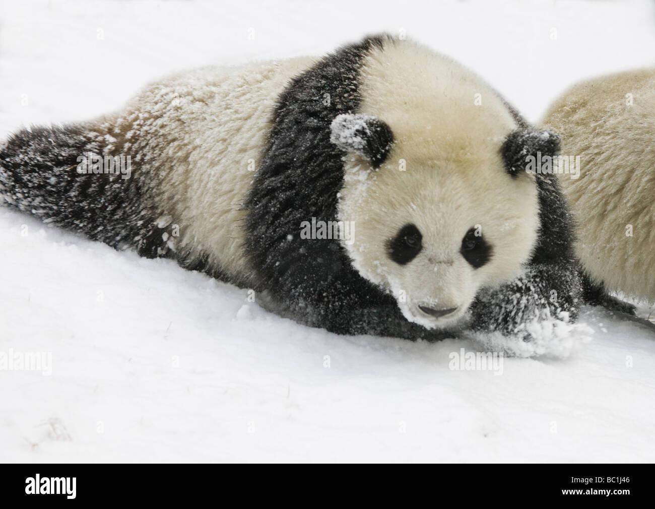 Giant panda cub on snow Wolong Sichuan China - Stock Image