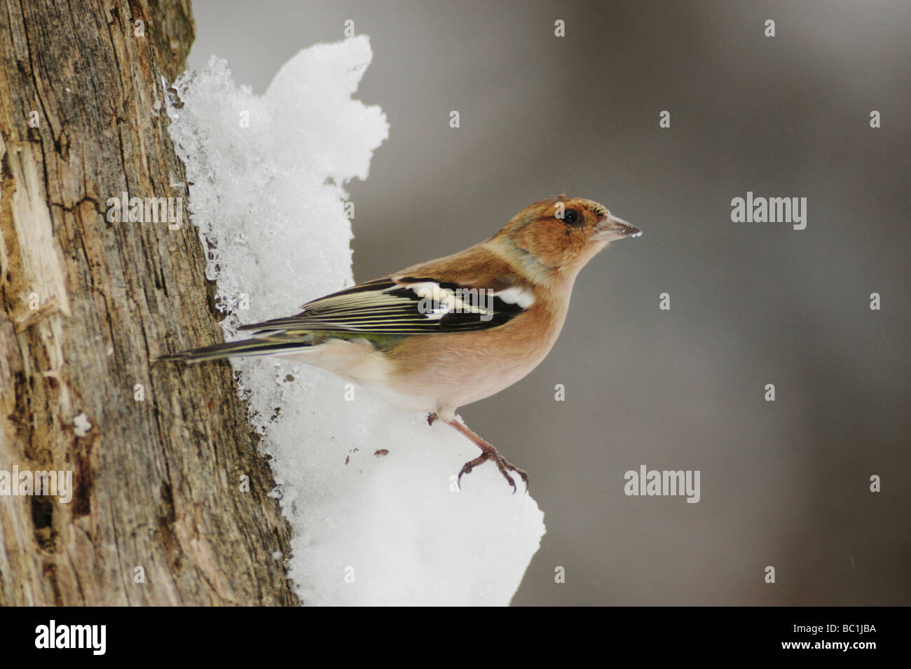 Common Chaffinch Fringilla coelebs adult perched on snow Zug Switzerland December 2007 - Stock Image
