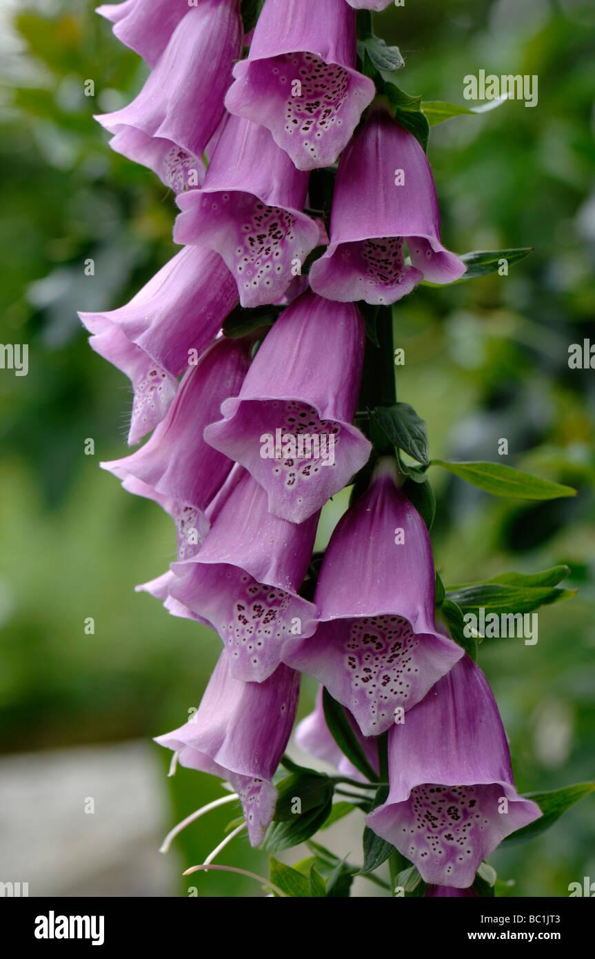 Foxglove Digitalis purpurea florets - Stock Image